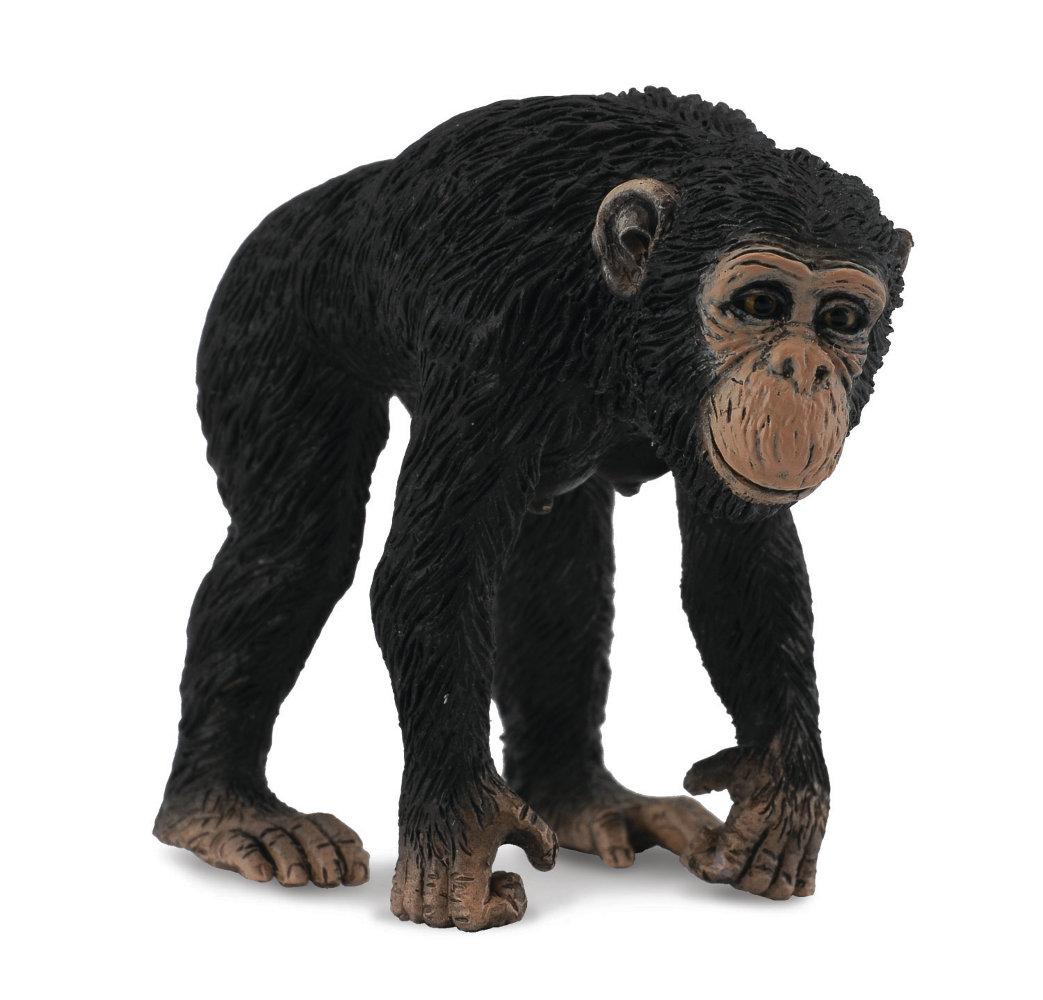 Šimpanz - samica